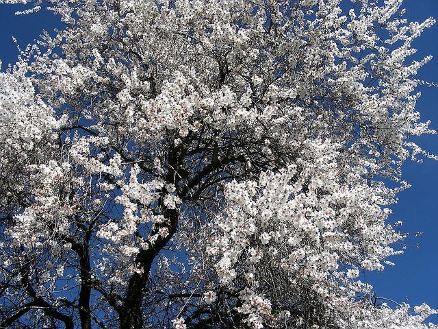 kvetoucí mandlový strom