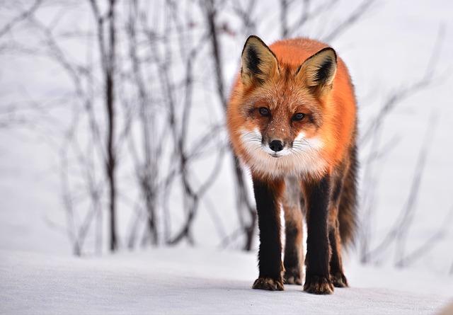 liška na sněhu